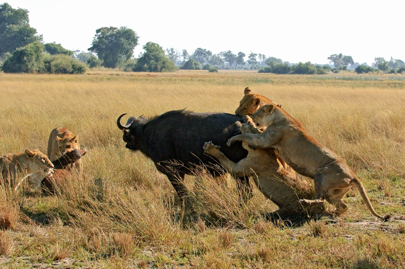 animales cazando