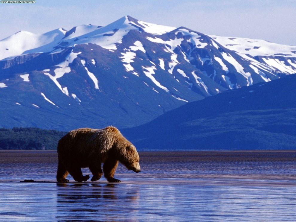 Trolling_the_Landscape,Brown_Bear,Alaska.jpg.