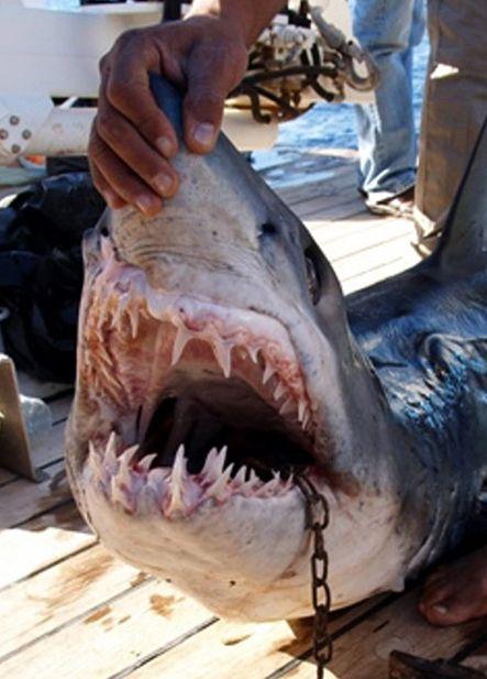 Акулы Шарм-эш-Шейха или Челюсти в Египте (фото)