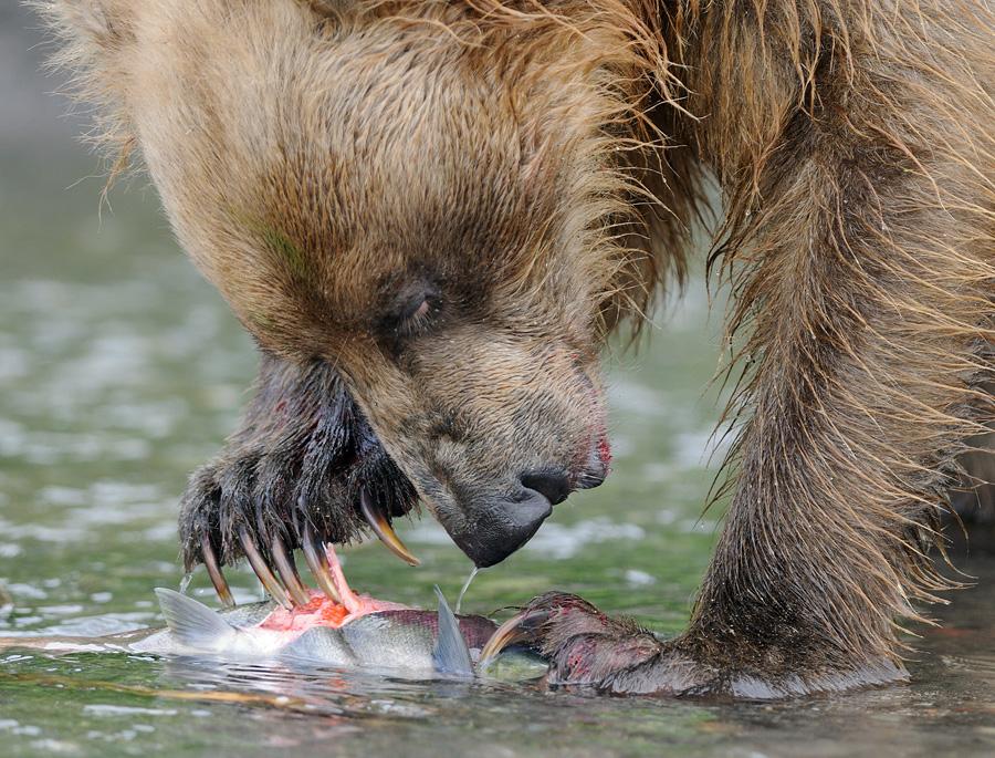 О медвежьих следах и лапах