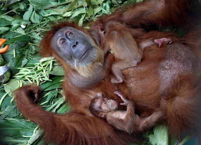 Пожилая самка суматранского орангутанга и другие братья наши меньшие