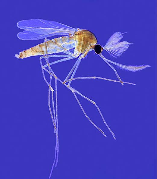 7. Взрослый комар-самец Culex.  Самки комаров этого вида известны своими...