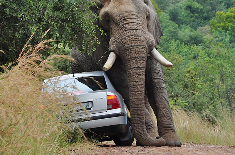 Прочь с дороги: Слон иседан