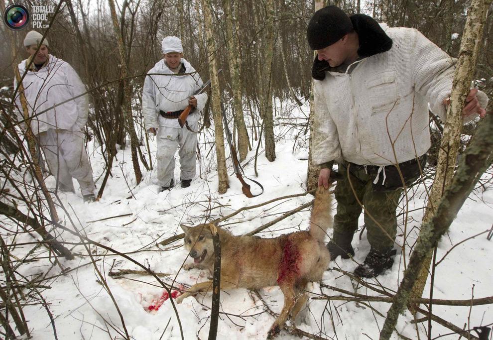 Wolf 100 охота на волков в чернобыльской