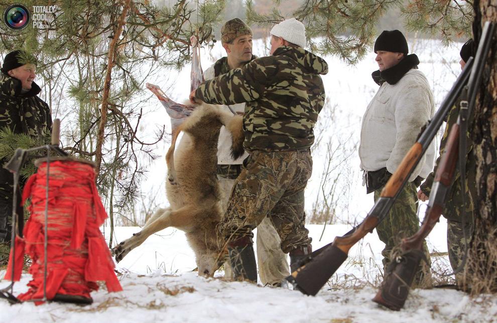 Охотники снимают шкуру убитого волка недалеко от поселка