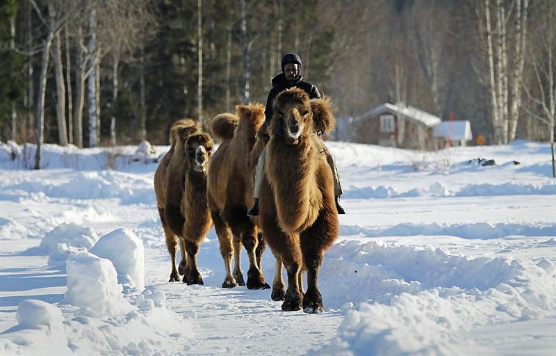 0026 Сомалиец пасет верблюдов в снежной Норвегии