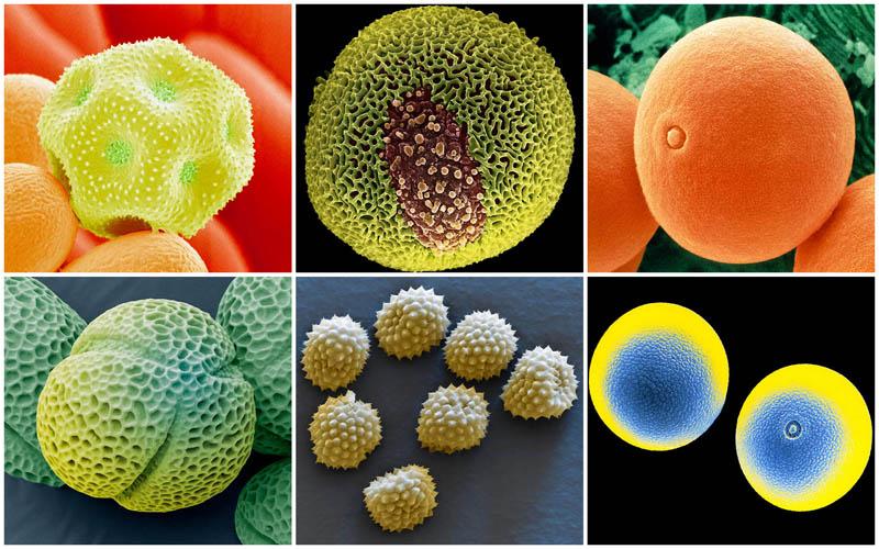 Пыльца под микроскопом