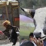 Петушиные бои и коррида в Эквадоре