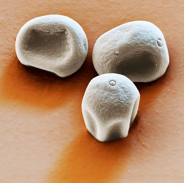 pollen01 Пыльца под микроскопом