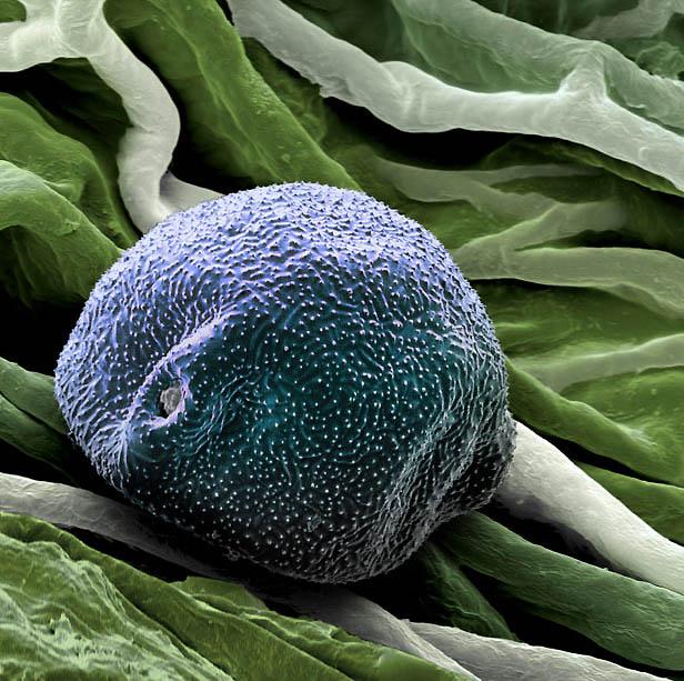 pollen02 Пыльца под микроскопом