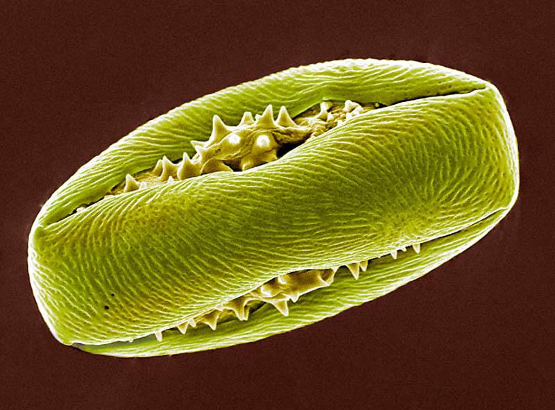 pollen05 Пыльца под микроскопом