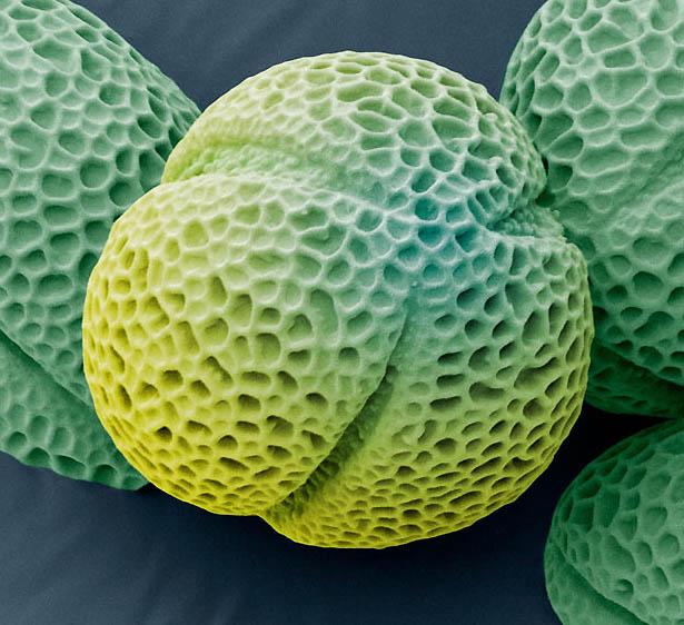 pollen07 Пыльца под микроскопом