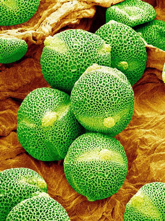 pollen08 Пыльца под микроскопом