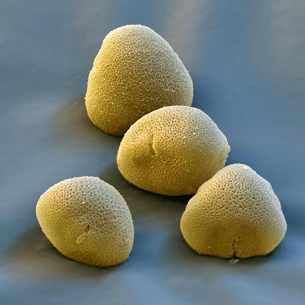 pollen12 Пыльца под микроскопом