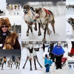 Гонки на северных оленях в Лапландии