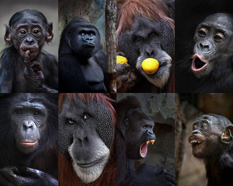 0088  Человекообразные обезьяны Франкфуртского зоопарка