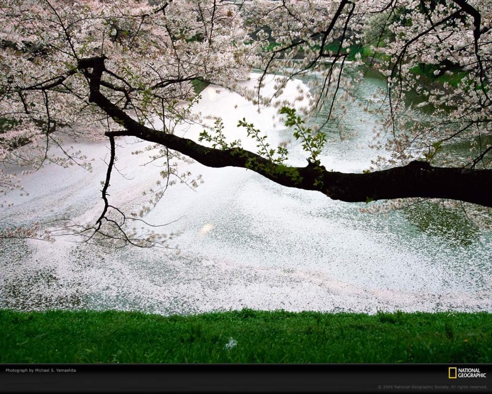 Войлочная вишнясорта уход и выращивание  Сайт о саде
