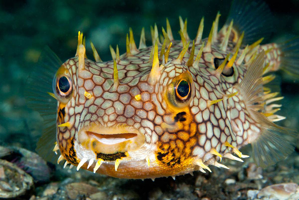 Рыба ротан фото и описание сковородку, добавляем