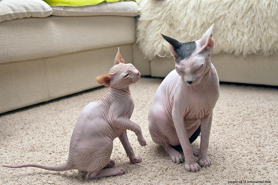 11191 Лысые кошки