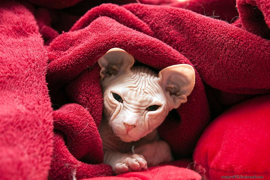 13155 Лысые кошки