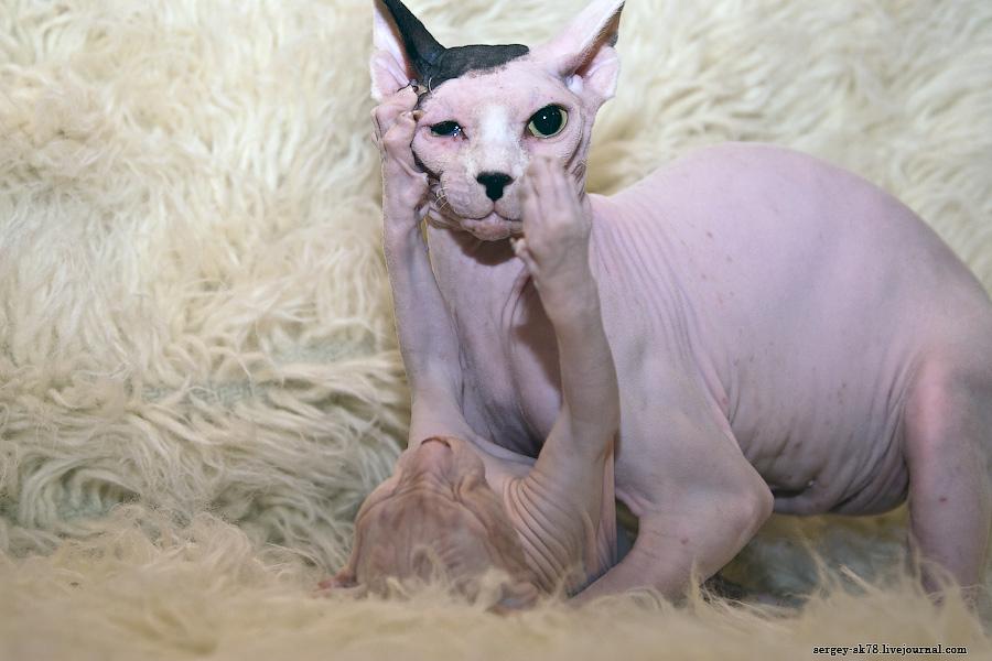 17133 Лысые кошки