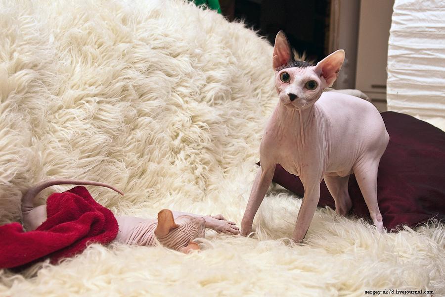 21146 Лысые кошки