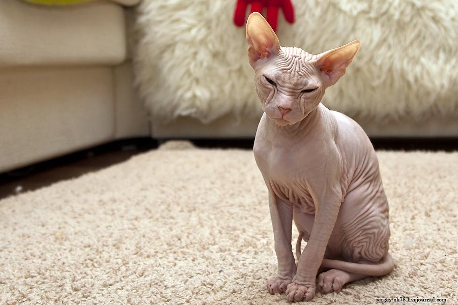 3283 Лысые кошки