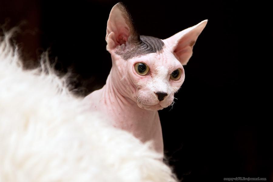 4193 Лысые кошки