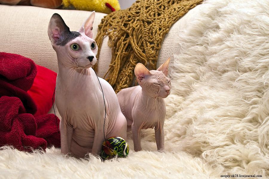 Лысые кошки