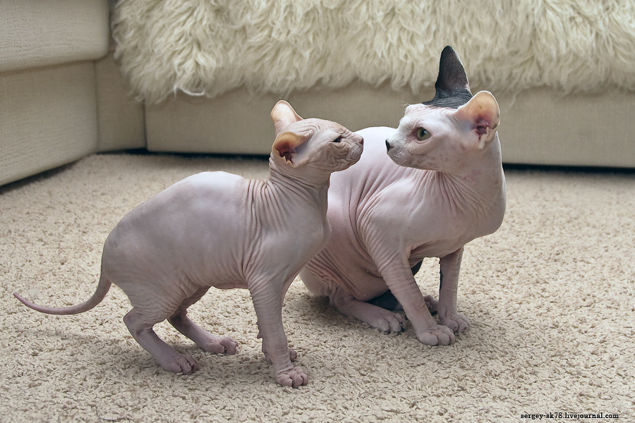 7131 Лысые кошки