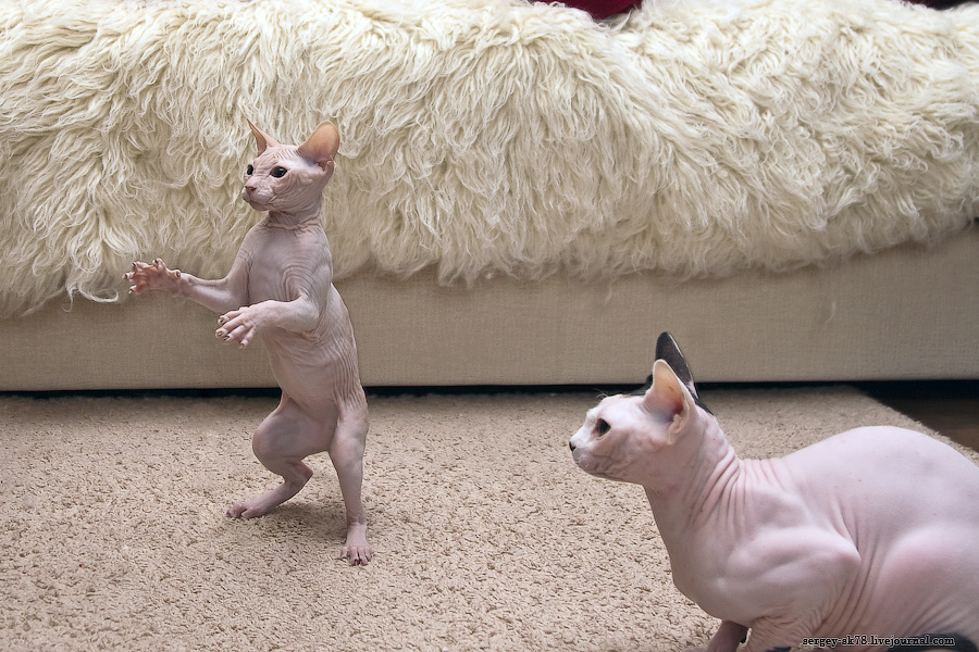 8120 Лысые кошки