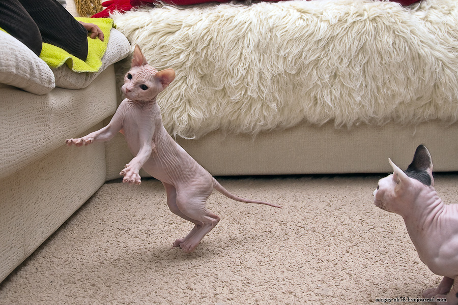 9119 Лысые кошки