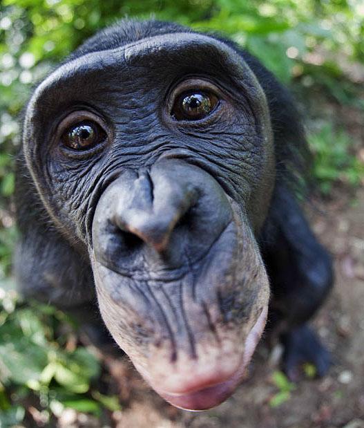 apes01 Заповедник Lola ya Bonobo в Конго