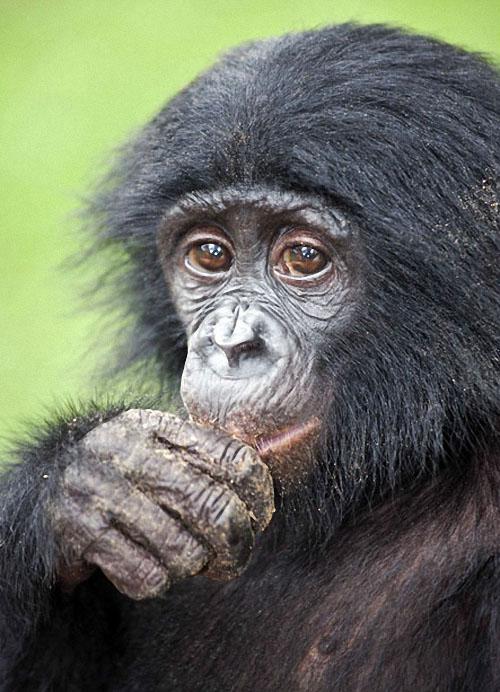 apes02 Заповедник Lola ya Bonobo в Конго
