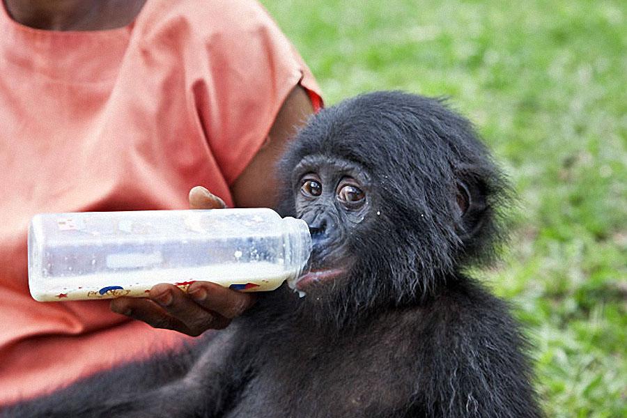 apes04 Заповедник Lola ya Bonobo в Конго