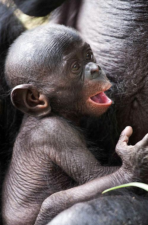 apes07 Заповедник Lola ya Bonobo в Конго