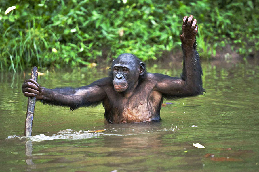 the creative writing a day in the life of a bonobo chimp