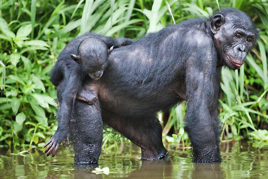 apes09 Заповедник Lola ya Bonobo в Конго