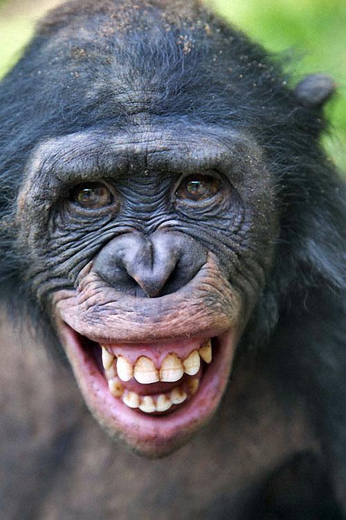 apes10 Заповедник Lola ya Bonobo в Конго