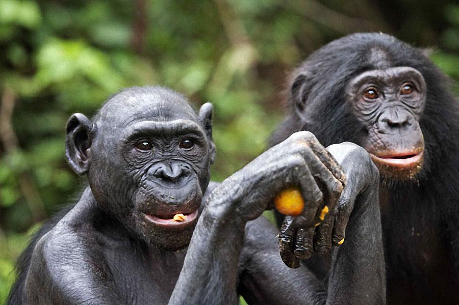 apes11 Заповедник Lola ya Bonobo в Конго