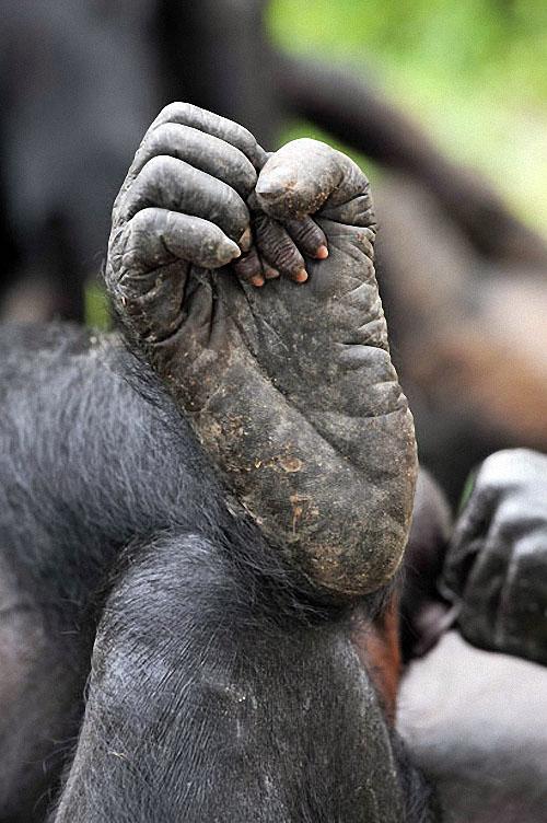 apes12 Заповедник Lola ya Bonobo в Конго
