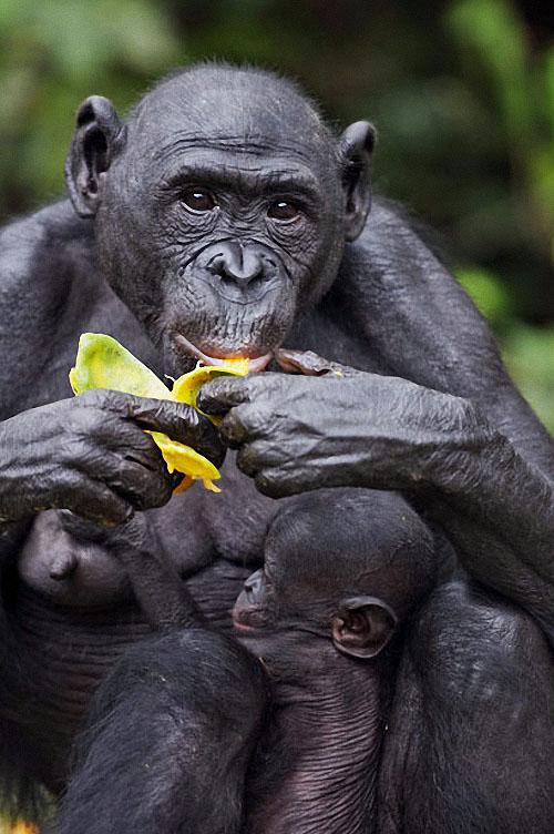 apes17 Заповедник Lola ya Bonobo в Конго