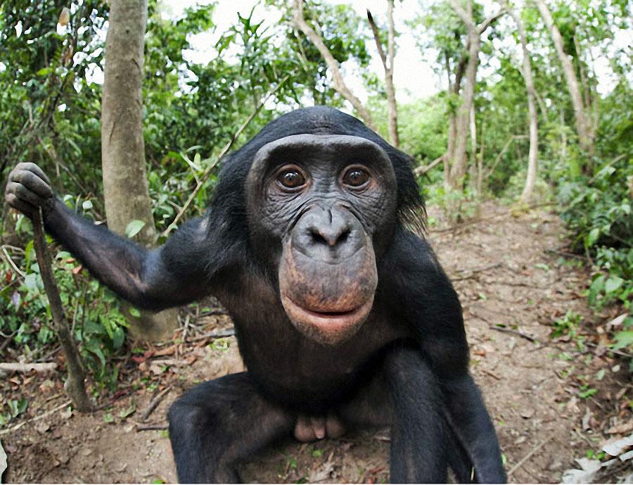 apes18 Заповедник Lola ya Bonobo в Конго