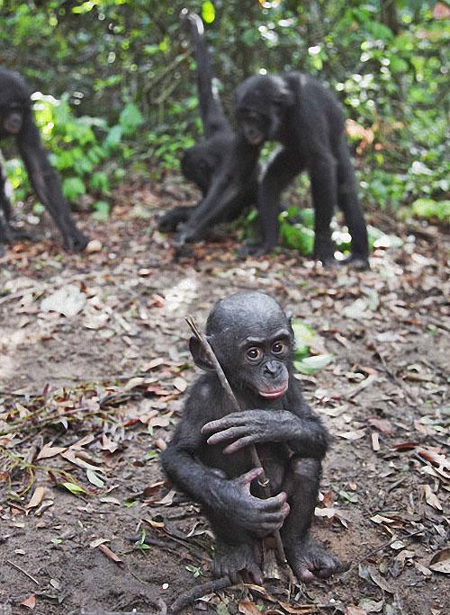 apes19 Заповедник Lola ya Bonobo в Конго