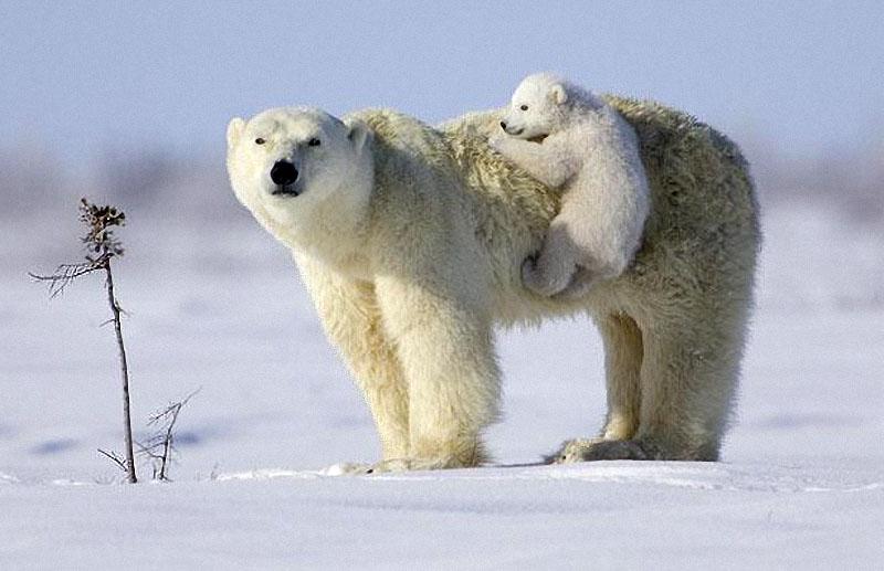13. Детеныш белого медведя со своей мамой Велкро в заснеженной тундре.  (linda drake / solent) .
