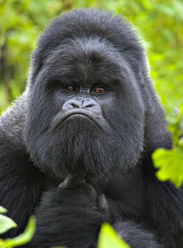что картинки гориллы приколы учёных сообщила