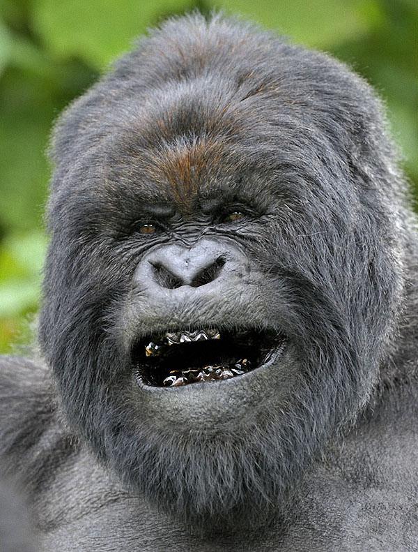 gorillas03 Гориллы: Жизнь на грани