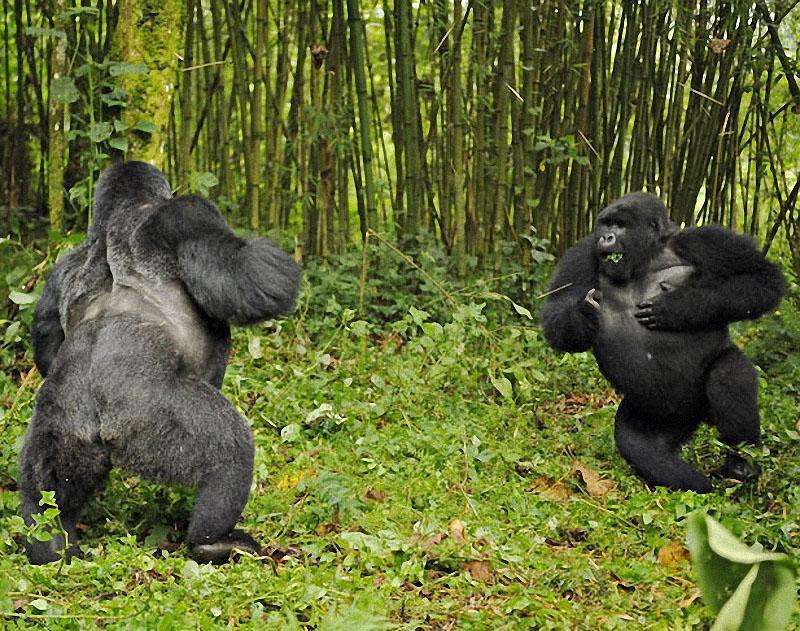 gorillas04 Гориллы: Жизнь на грани
