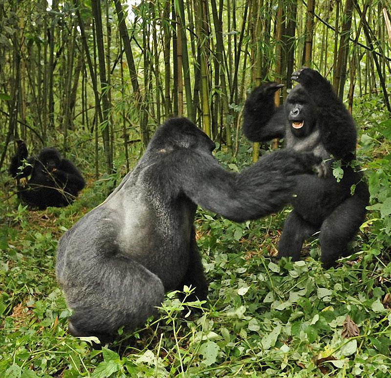 gorillas05 Гориллы: Жизнь на грани