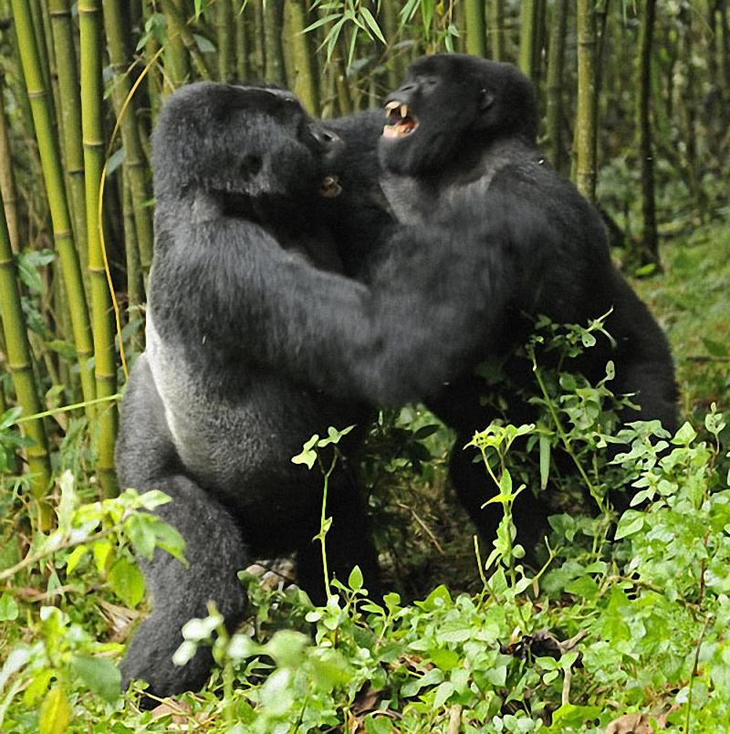 gorillas06 Гориллы: Жизнь на грани